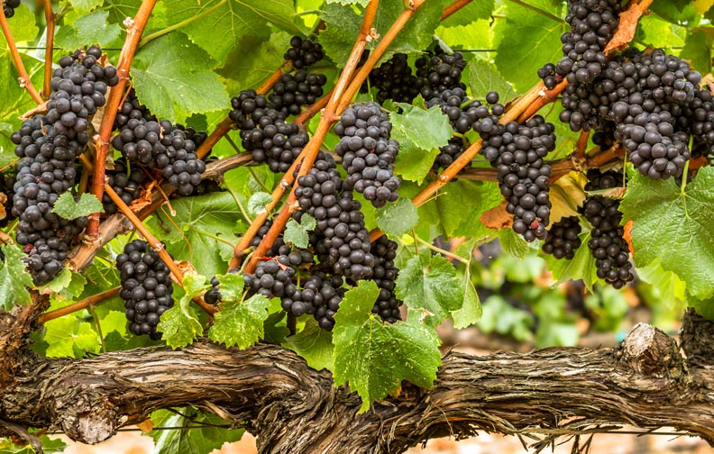 grapes on the vine at a Healdsburg Winery