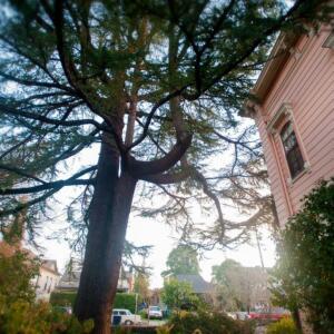 Camellia Inn tree